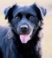 Sunshine Golden Retriever Rescue Adoptable Dogs
